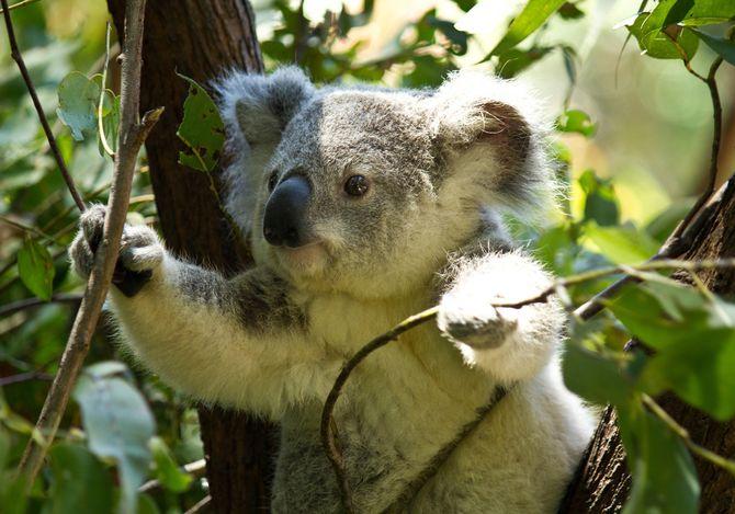 a-koala.jpg